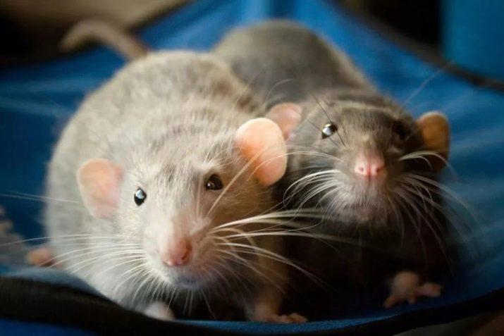Імена для щурів-дівчаток: які смішні прізвиська можна дати? Якими ласкавими і незвичайними іменами можна назвати?