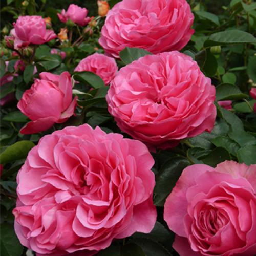 особенности штамбовых роз